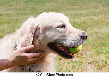 Dog. Portrait of a lovely cute golden retriever sitting on the grass holding a tennis ball in his mouth while his owner stroking him gently, close up