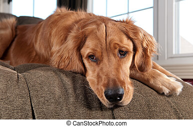 Golden Retriever Lying on a Chaise Lounge