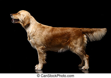 Golden retriever on black. - Golden retriever poising in...
