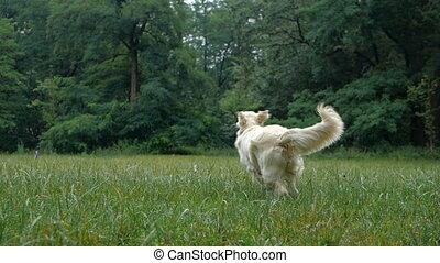 Golden Retriever outdoor training process - 4k Slow motion....