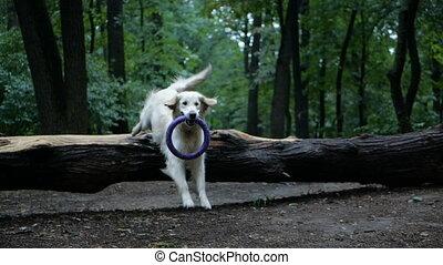 4k Slow motion. Dog training. Golden retriever dog training outdoor in the park.
