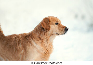 golden retriever portrait on white background