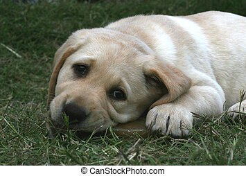 Golden retriever pup chewing