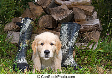 Golden Retriever Pup - Cute golden retriever by woodpile and...