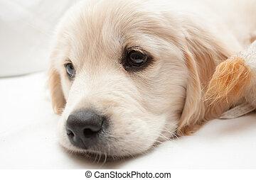 Golden Retriever pup white