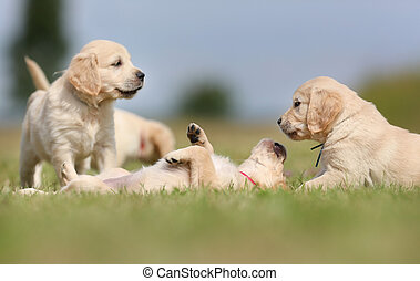 Seven week old golden retriever puppies outdoors on a sunny day.