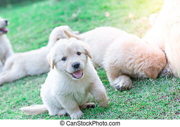 Golden retriever puppies stick out their tongue smiling and having fun on the lawn