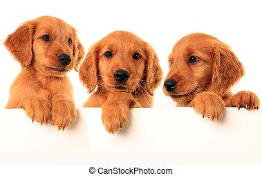 Three golden retriever puppies, studio isolated.