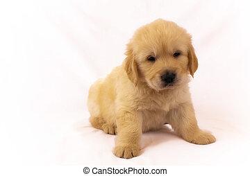 Golden retriever puppy isolated on white background - Studio...