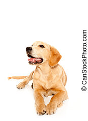 Golden retriever puppy purebred dog isolated on white