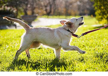 Golden retriever puppy walking