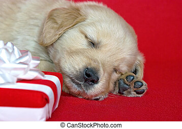 golden retriever puppy with gift