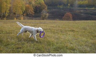 golden retriever running on field with puller
