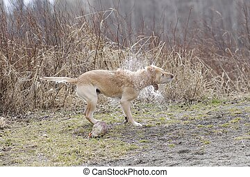 A golden retriever shakes off the water in Hauser, Idaho.