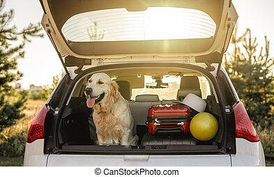 Golden retriever sitting in car trunk