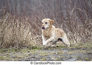 A golden retriever takes off from a sitting position in Hauser, Idaho.