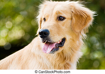Golden Retriever stick its tongue out with back light and soft green background