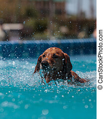 Golden retriever swims with a toy and plays in a pool in...