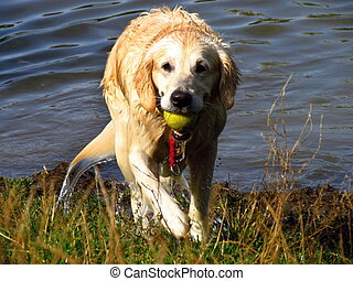 Golden retriever takes the green tenis ball out of the pond,...