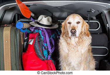 Golden Retriever Trip - Golden Retriever in the boot of the...