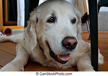 Golden Retriever under the chair - Golden Retriever liegt...