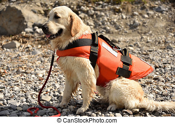 Golden retriever wearing water rescue life jacket