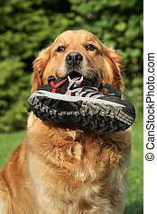 Golden retriever with a boot in teeth - Portrait of a Golden...