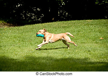 Retriever - Golden Retriever with a Dummy