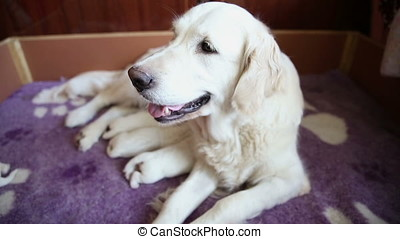 Golden retriever with newborn puppies
