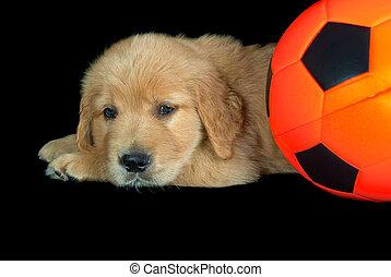 golden retriever with soccer ball - Golden retriever puppy...