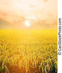 Golden rice field in the morning