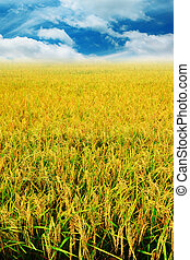 Golden rice field with blue sky.