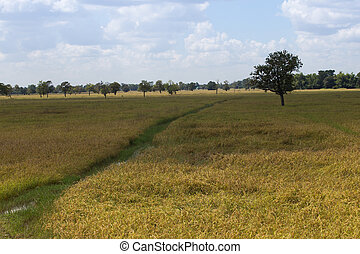 Golden rice in the fields