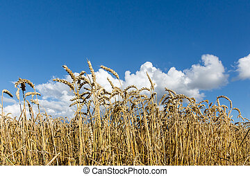 Golden, ripe wheat against blue sky background.