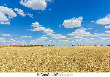 Golden, ripe wheat against blue sky background