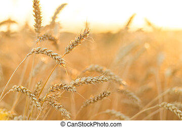 Golden ripe wheat field background