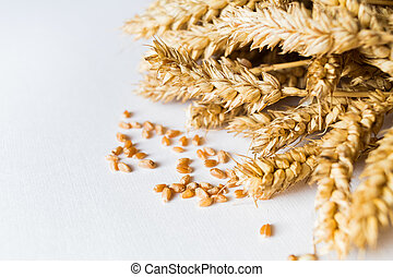 Golden ripe wheat on white background
