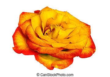 Golden Rose over White