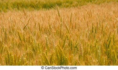 Golden rye shinning in summer sun. View to high and short...