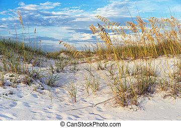 Golden Sea Oats in the Florida Sand Dunes Landscape -...