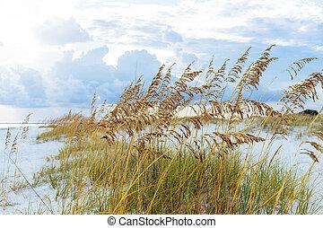 Golden Sea Oats on Florida Beach - Golden sea oats waving in...
