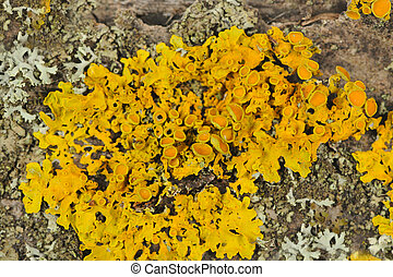 Golden Shield Lichen Close-Up on Tree Bark