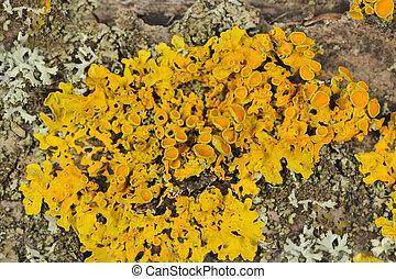 Golden Shield Lichen Close-Up on Tree Bark