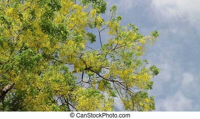 Golden shower or Cassia fistula flower in summer sky, stock...