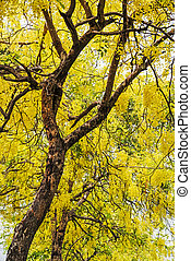 Golden shower tree (Cassia fistula), tropical tree in the northe