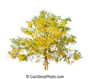 Golden shower tree (Cassia fistula), tropical tree in the ...