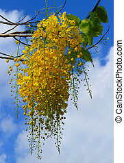Golden shower tree on sky background