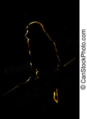 Golden silhouette of olive baboon in darkness