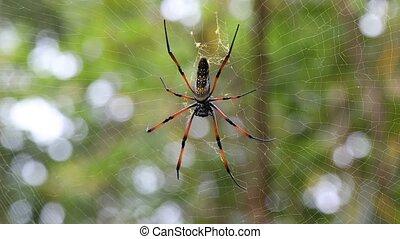 Golden silk orb-weaver on net Madagascar - Golden silk...