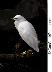 Golden slippers glow on snowy egret in Florida